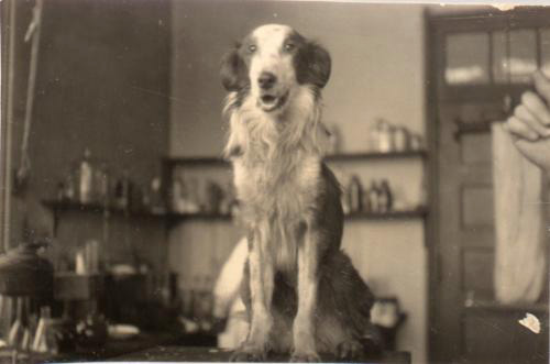 ut_collie_lab